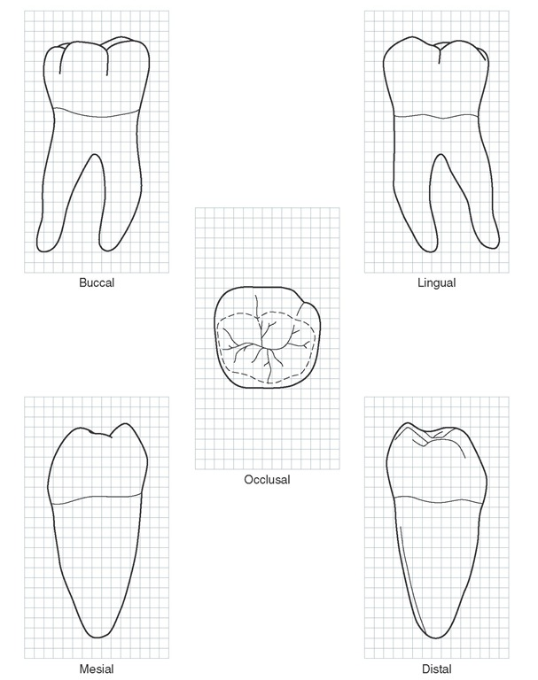 607x768 The Permanent Mandibular Molars (Dental Anatomy, Physiology