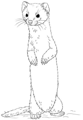 333x480 Long Tailed Weasel Standing Coloring Page From Weasels Category
