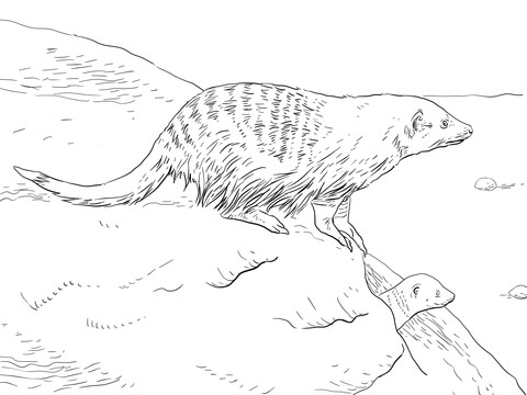 480x360 Banded Mongoose Coloring Page Free Printable Coloring Pages