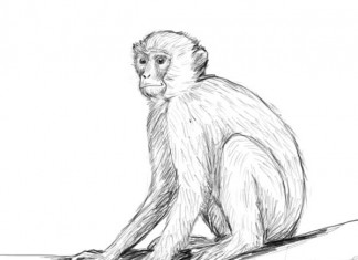 324x235 Realistic Monkey Drawing Monkey Drawings Sketches