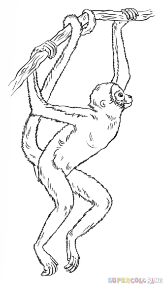 331x575 How To Draw A Spider Monkey Draw Tutorials