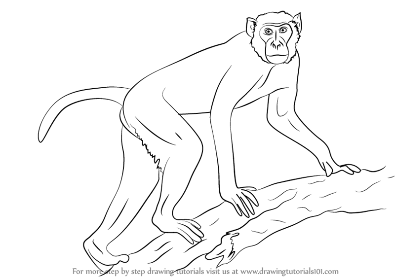 800x566 Learn How To Draw A Rhesus Macaque (Primates) Step By Step