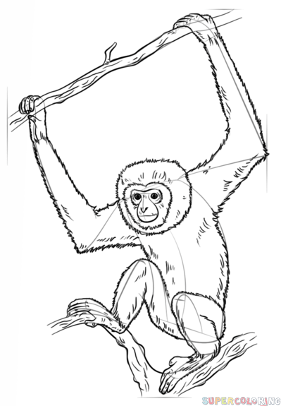 399x575 How To Draw A Lar Gibbon Step By Step Drawing Tutorials