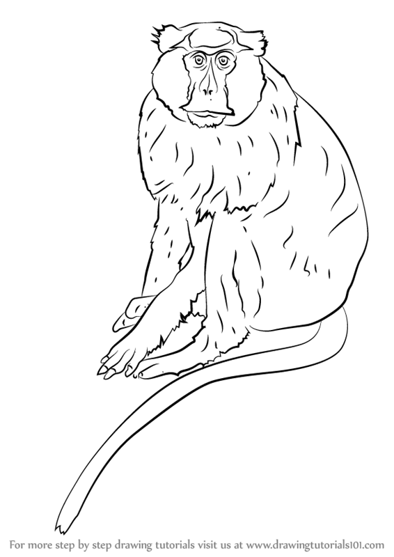 566x800 Learn How To Draw A Patas Monkey (Primates) Step By Step Drawing