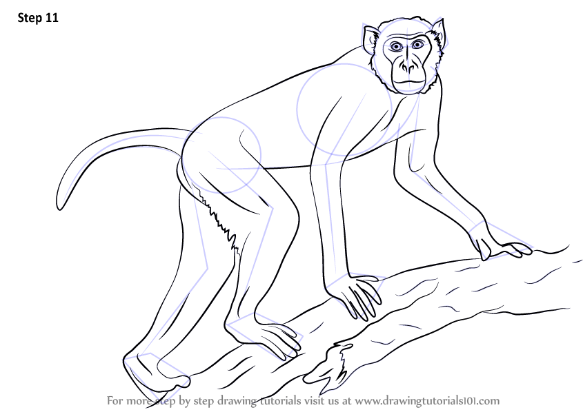 845x598 Learn How To Draw A Rhesus Macaque (Primates) Step By Step