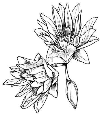 Montana Drawing