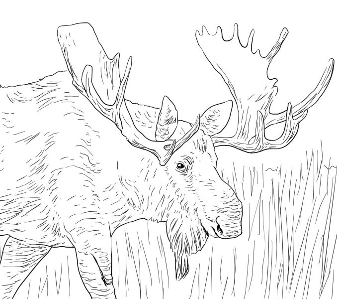 678x600 For Kid Moose Coloring Pages 43 On Line Drawings With Moose
