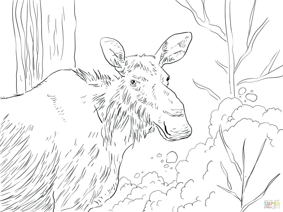 945x709 Moose Coloring Page Moose Coloring Pages Eastern Moose Coloring