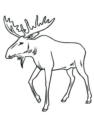 360x480 Moose Coloring Page Moose Coloring Pages Eastern Moose Coloring