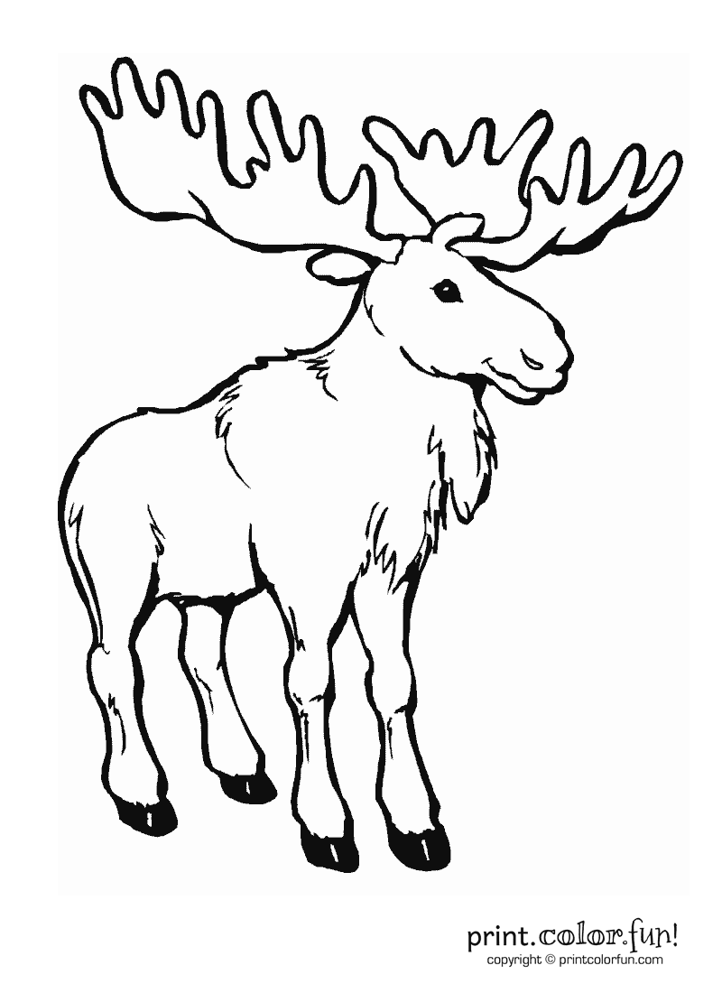 800x1100 Moose Coloring Page