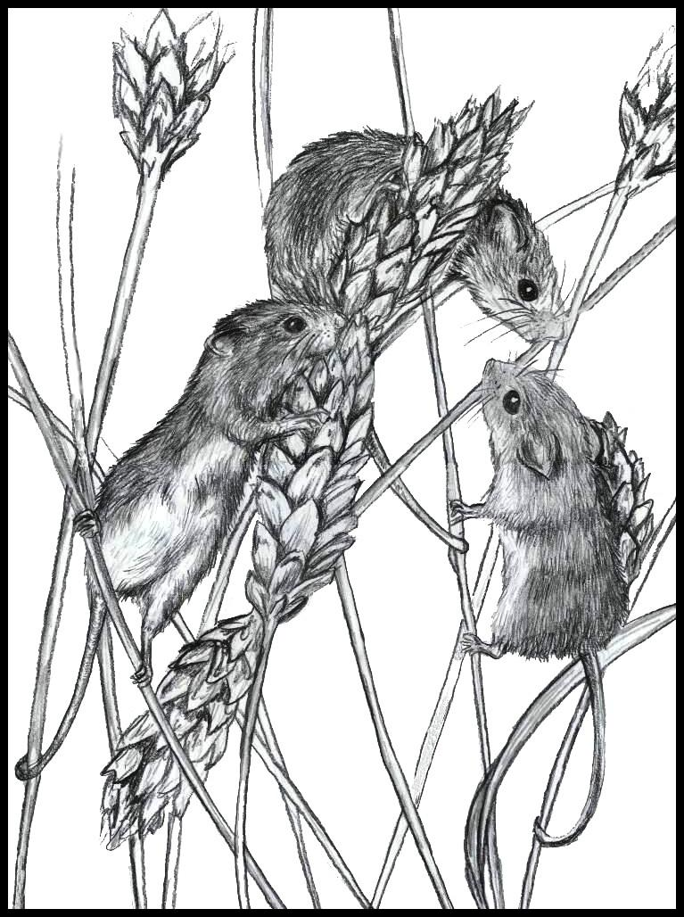 767x1028 Pin By Ellen Bounds On Sketches Of Dormice