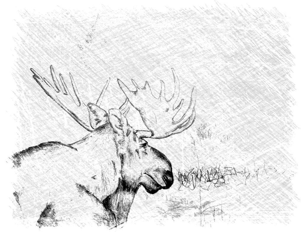 1017x786 Alaska Moose Sketch