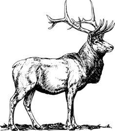 236x268 Beautiful Pencil Drawing Of A Bull Elk Deer Bull