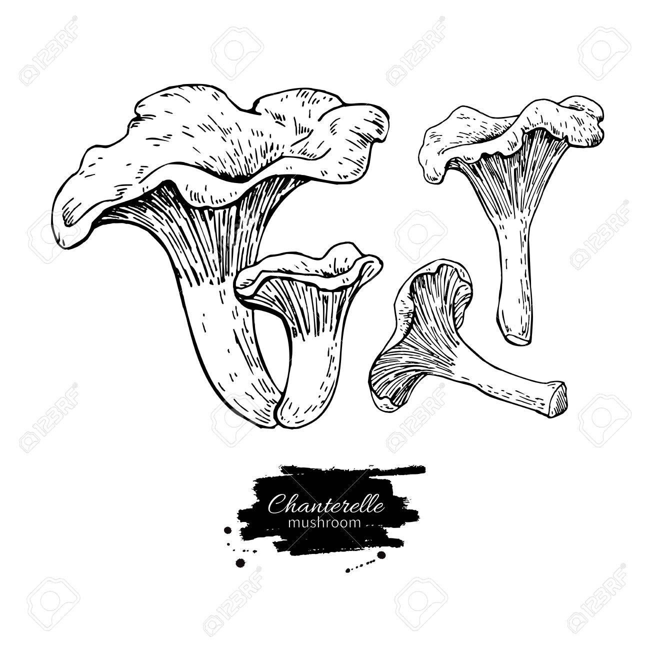 1300x1300 Chanterelle Mushroom Hand Drawn Vector Illustration Set. Sketch