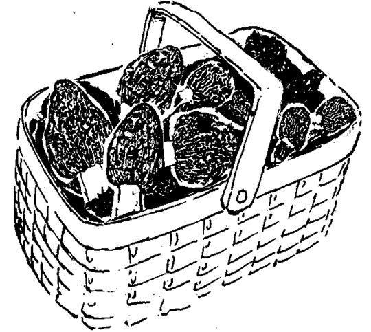 540x483 Sketch Of Basket Of Morel Mushrooms Boise Permit