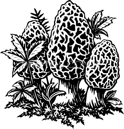 406x423 How To Draw A Morel Mushroom