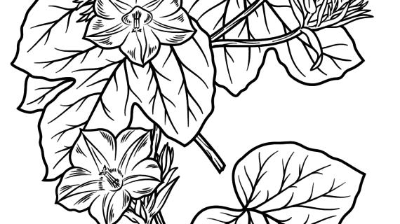 570x320 Morning Glory Flower Drawing Morning Glory Vine Drawing