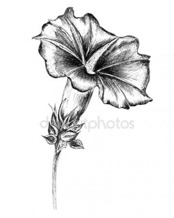 360x450 Hand Drawn Flower.ink Drawn.bindweed,morning Glory.linear Drawn