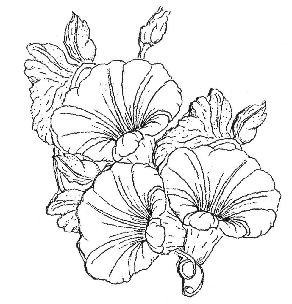 Morning Glory Botanical Drawing At Getdrawings Free Download