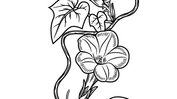 570x320 Morning Glory Flower Drawing Morning Glory Botanical Drawings