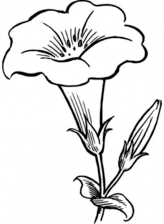 Morning Glory Flower Drawing at