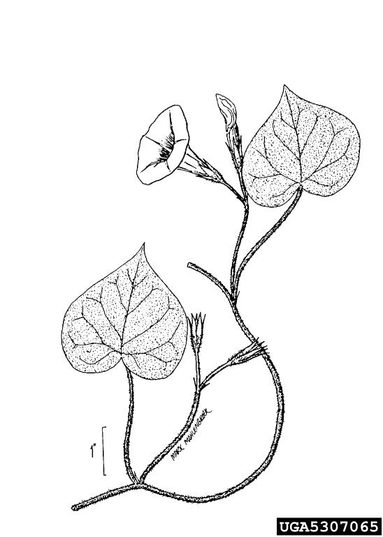 548x768 Tall Morning Glory, Ipomoea Purpurea (Solanales Convolvulaceae