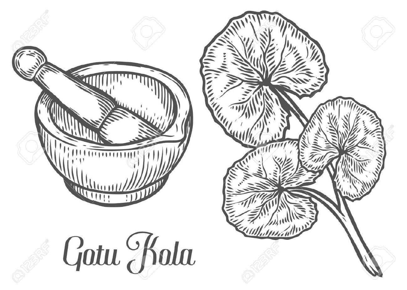1300x928 Gotu Kola Plant With Mortar And Pestle. Black Isolated On White