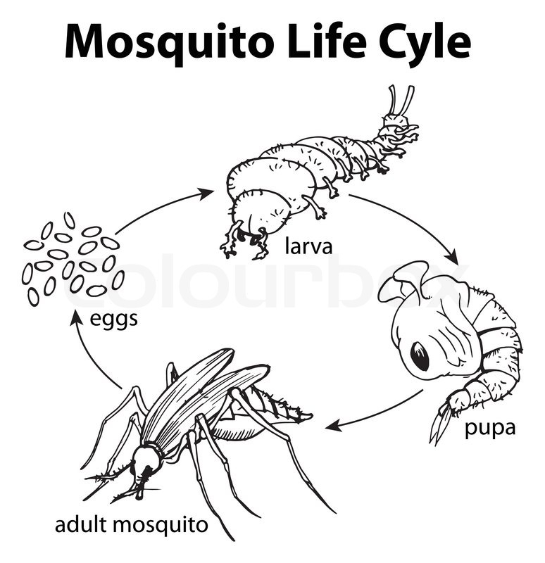 774x800 Illustration Of A Mosquito Life Cycle Stock Vector Colourbox