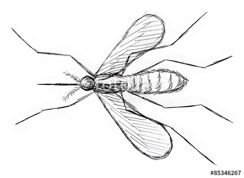 500x365 Mosquito Drawing Stock Photo And Royalty Free Images On Fotolia