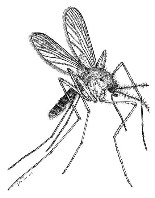 502x640 Mosquitoes Arrive In Hawai'I