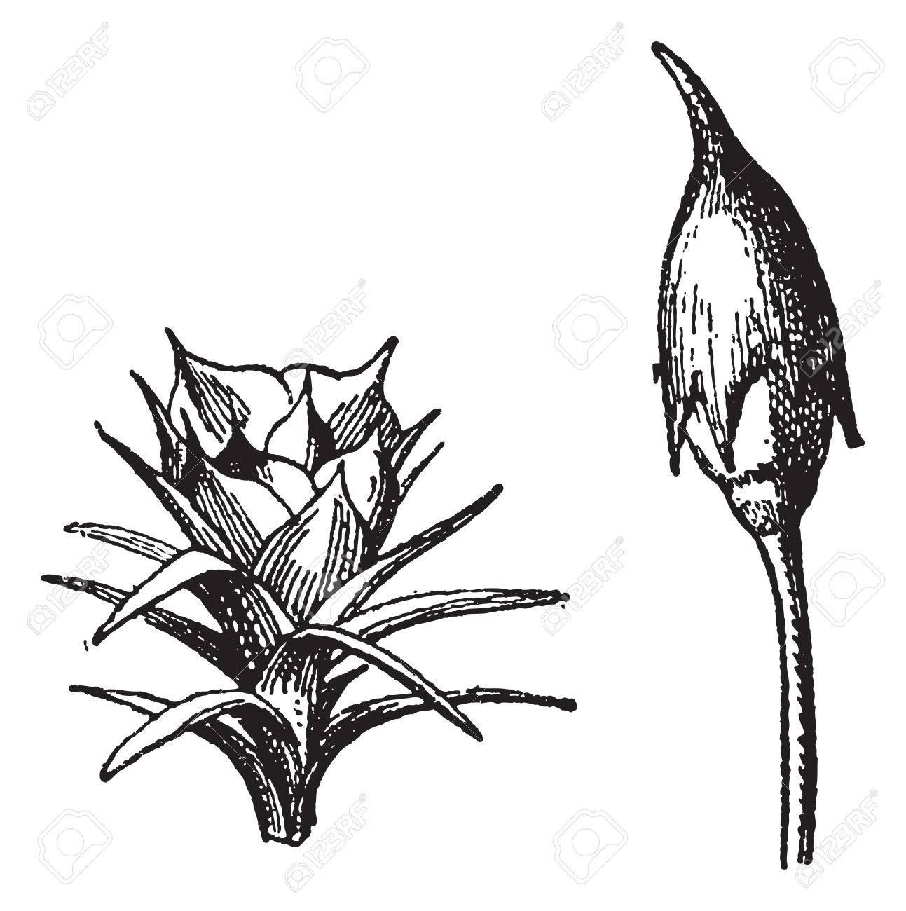 1293x1300 Male Flower. Female Flower. Polytrichum Or Haircap Moss Or Hair