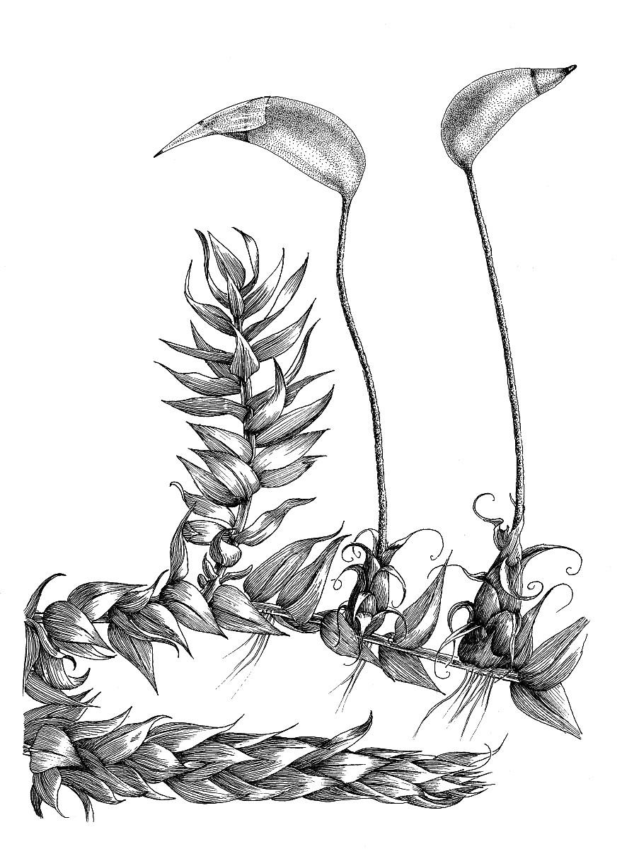 879x1200 Brachythecium Rutabulum, Rough Stalked Feather Moss