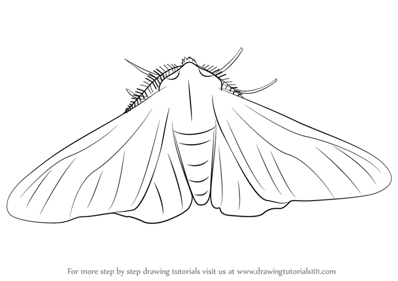 800x565 Learn How To Draw A Peppered Moth (Insects) Step By Step Drawing