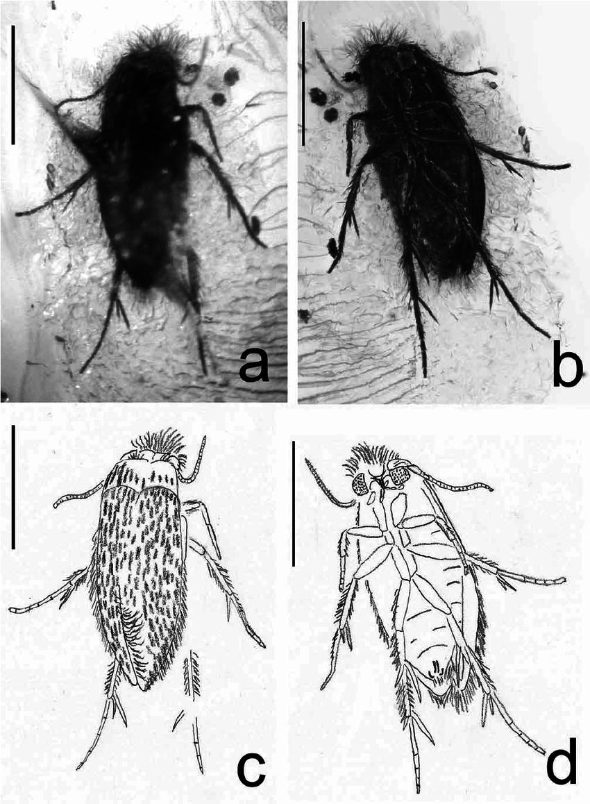 850x1158 Female () Pygmy Moth (Nepticulidae) From Eocene Baltic Amber