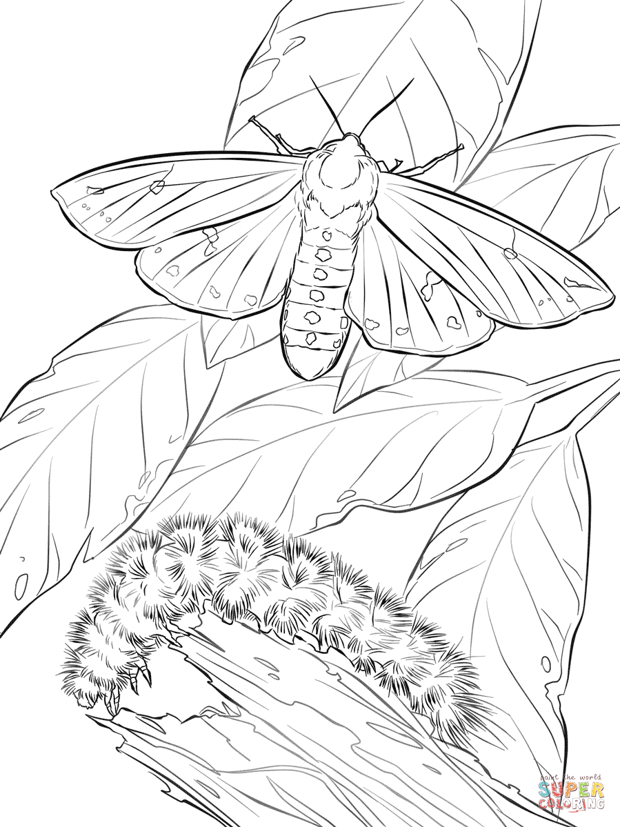 899x1199 Woolly Bear Moth And Caterpillar Coloring Page Free Printable