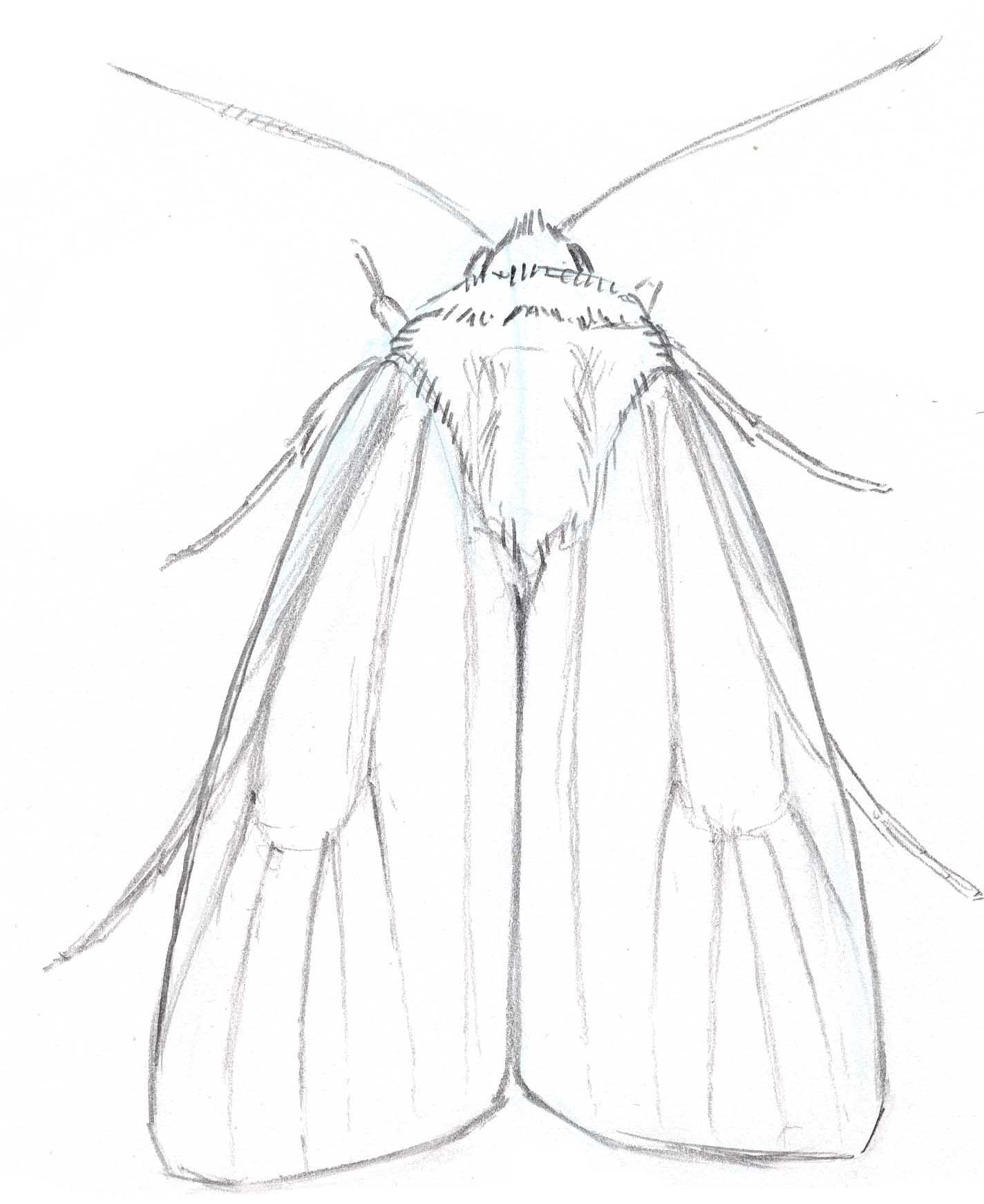 1424x1742 Noctuid Moth Line