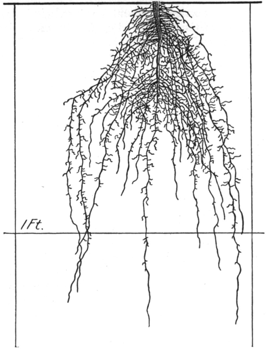 919x1206 The Root Development Of Vegetable Crops Astonishing Illustrations