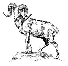 235x229 Mountain Goat Ink Drawing By Ciara Barsotti