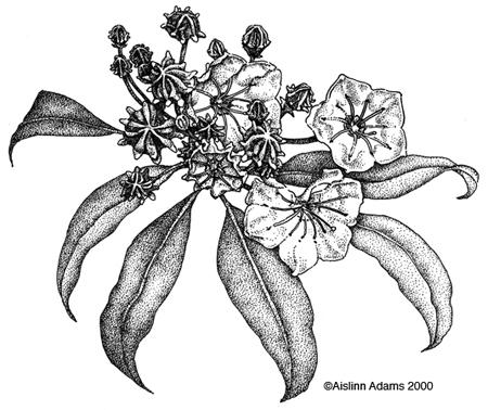 450x378 Mountain Laurel, Pennsylvania Represent Tattoo