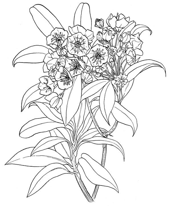 600x722 Mountain Laurel Coloring Page Creativetherapytools