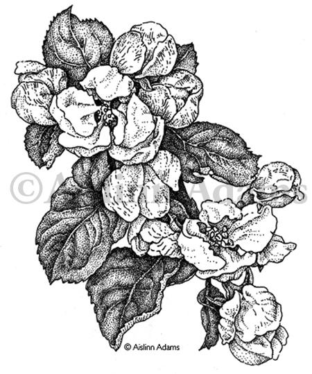 450x539 Pen And Ink Drawing Aislinn Adams