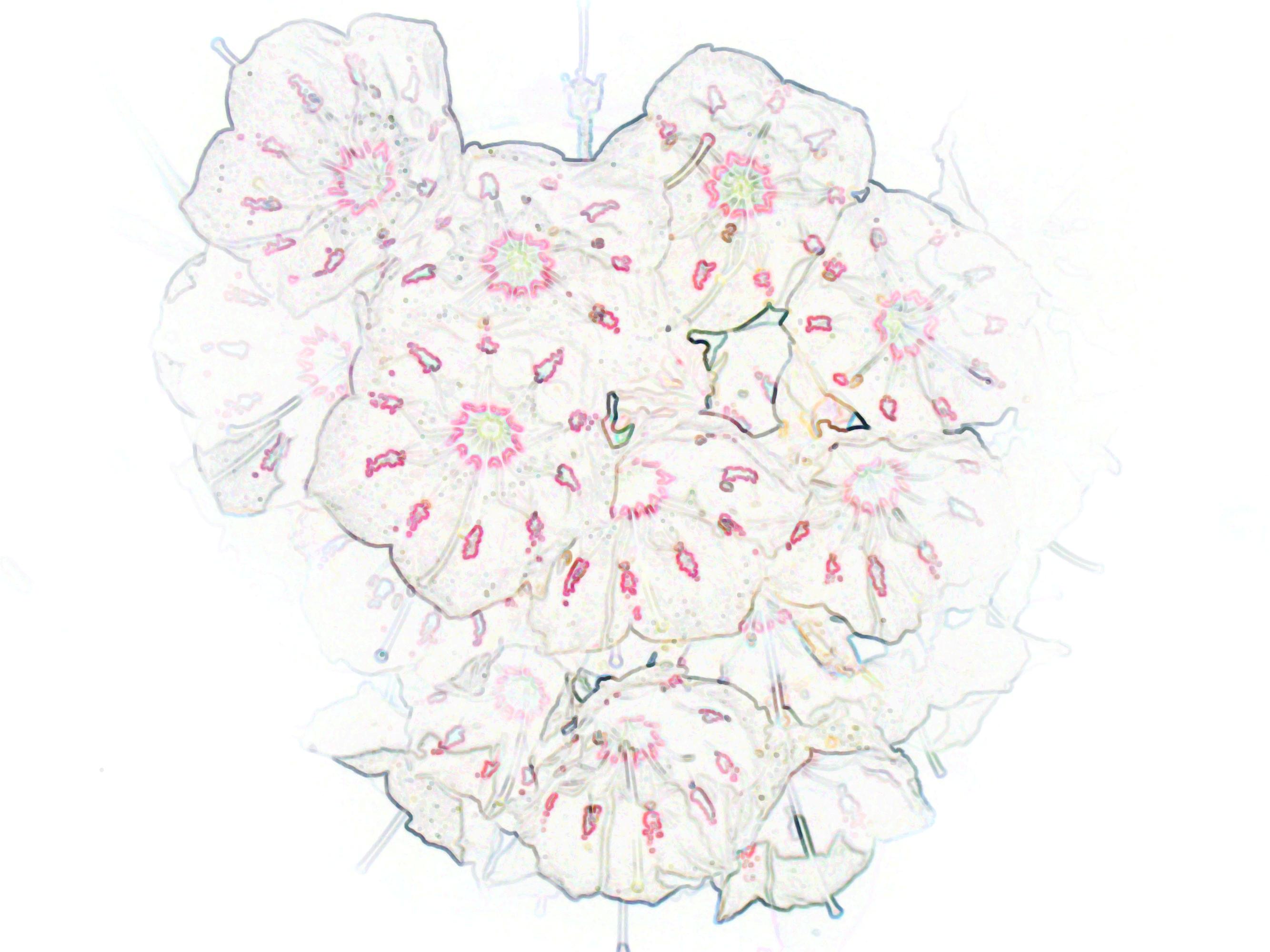 2667x2000 White Mountain Laurel Flowers Ii, Kalmia Gardens By Teri Leigh
