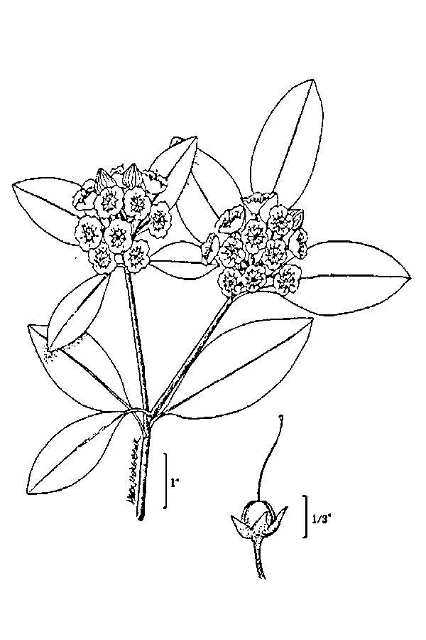600x900 Large Image For Kalmia Latifolia (Mountain Laurel) Usda Plants
