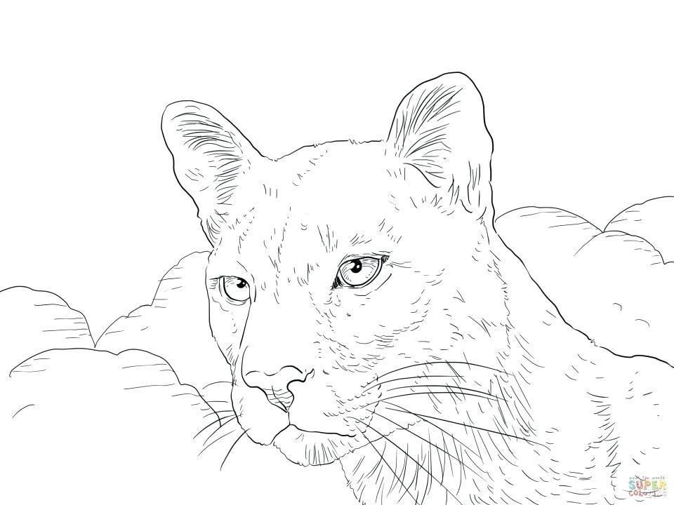 960x720 Mountain Lion Coloring Page Coloring Sheets Lion Mountain Lion