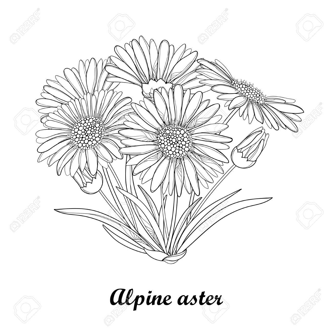 1300x1300 Bouquet With Outline Open Alpine Aster Flower, Bud And Leaf