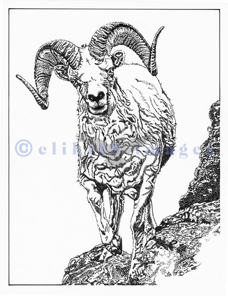 463x600 Clikrf8 Photo Keywords Mountain Goat Ink Drawing
