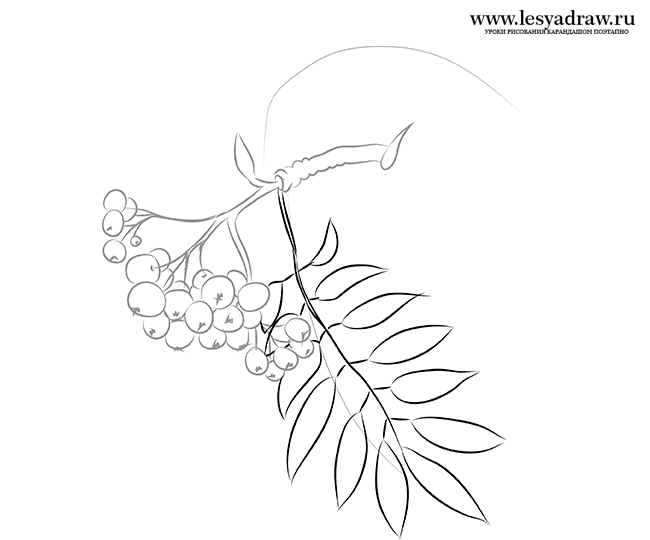 650x540 How To Draw A Mountain Ash With A Pencil Step By Step