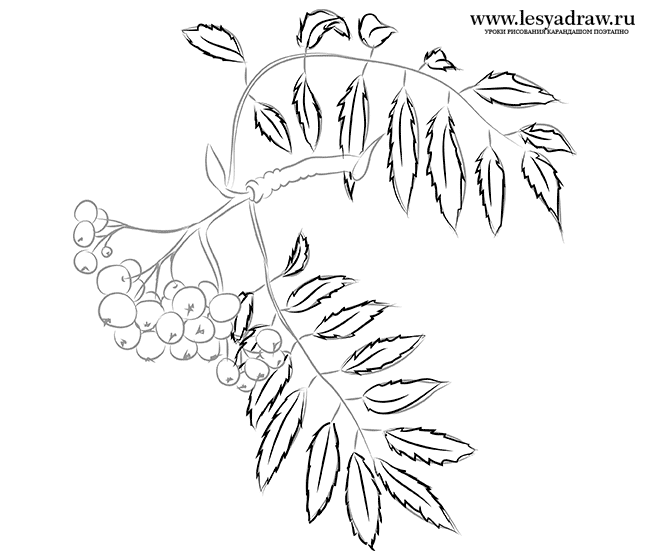 650x560 To Draw A Mountain Ash With A Pencil Step By Step