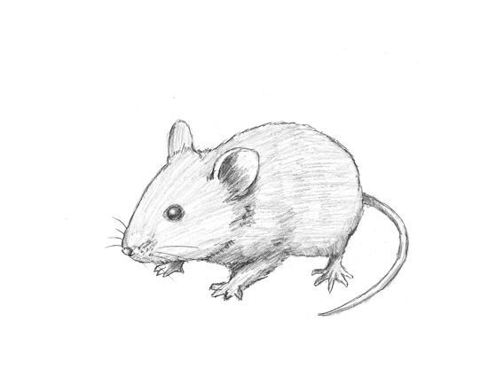 550x425 How To Draw A Mouse Tutorial