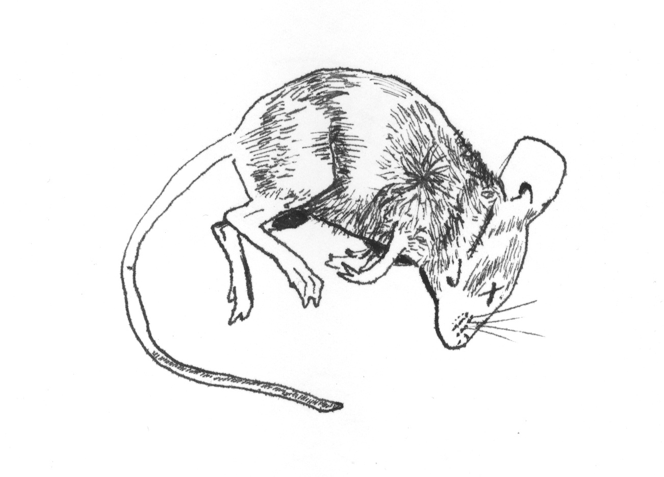 1302x934 Dead Mouse Hilary Schenker